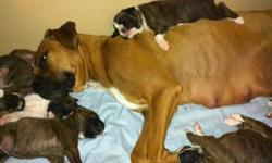 purebred boxer puppies 2 females brindle and white ranging in shades check pictures. puppies and parents can be seen and are pictured. tails are done and dew claws as well they are trained on puppy pads and are eating dry kibble and drinking water they