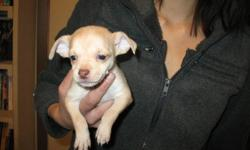 7 adorable female chihuahua puppies ready to go for Valentine's Day! First come, first pick. House raised with children. Please call to reserve yours today!