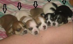 All pups will have their first needle and be vet checked on January 14, 2012. They will be dewormed.   They will be ready to go to their forever homes on or around January 18, 2012.   Mom and Dad are registered with Sydney Animal Hospital. Their needles