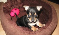 PUREBRED CHIHUAHUA PUPPIES   Both parents can be seen on site. Father - Apple Head - Red- 5-6 lbs Mother - Deerhead - Blonde - 3-4 lbs   All pups will come with Vet Exam, First Vaccination, Deworming and Puppy Pack.   Almost ready to go, $200.00