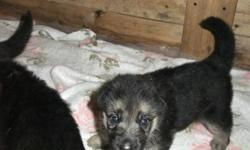 Purebred CKC registered German Shepherd Puppies.   These pups are raised with our family and both Mom and Dad have excellent temperaments. They are very smart and sociable (read: they are a handful and will try your patience repeatedly.)  These pups also