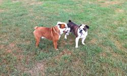 Great with kids, good temper, very playful and lovable, wrinkly and excellent bloodlines. Looks like a English bulldog should! Beige and white in collar, NOT fixed, purebred an papered, healthy, sadly no time :( we don't feel it is fair and would love him