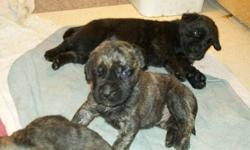 5 BEAUTIFUL ENGLISH MASTIFF PUPS RASIED UNDER FOOT IN OUR HOME WITH KIDS AND OTHER DOGS. ALL PUPS ARE HEALTHY AND HAVE BEEN DEWORMED THEY WILL GO TO THERE NEW HOMES WITH A PUPPY PACK AND PUPPY FOOD THAT WE FEED AND RECOMMEND. IF YOU HAVE ANY FURTHER