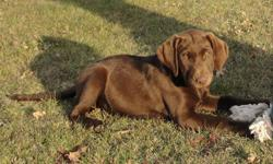 Beautiful Chocolate lab, kennel trained. She will be 5 months old on December 31st.  Has been raised around children and other dogs.  She loves to go for walks, would make a great hunting dog.  Please email if your interested in providing a loving home.