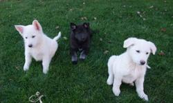 German Shepherd puppies (3 left) Second photo is of the parents. (Female on the left) Please call or text the cell number. Do not reply to lister as I do not own the dogs. (Owned by the Mennonite farmer next door who I have listed this for)
