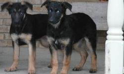Purebred German Shepherd Puppies 3 females Mother on premises Dewormed and first shots