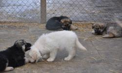Long coat ckc reg litter  come with there first  vaccination , micro chip , 1 male and 1 female left , for more information on these  great puppies please contact  .... call or e-mail