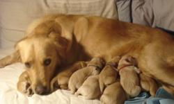 Searching a new year gift? how about a lovely puppy!  Our beautiful goldenretriever became a mom on Nov 8,2011,which means the puppies could be rehomed around the new year  as a  gift to your family or your friends. Dog Mom and Dog Dad are on site.Mom is