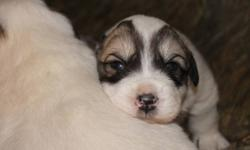 Dogpatch Acres has 5 beautiful Great Pyrenees puppies for sale, 2 male and 3 female ready to go February 13th. Anyone looking for a guardian dog will not be dissapointed in our pups. Our dogs are well socialized with humans, other dogs, cats, chickens,
