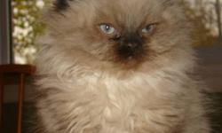 This handsome male himalayan kitten is ready for his new home.  He is eating solid food and using the litter box.  He is well socialized with children, other cats and dogs.  Please call if you are interested in  bringing him home.  Thanks Trish  519 751