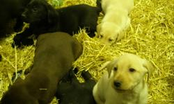 Farm raised purebred lab puppies for sale 500 each. Cholcolate, Black and Golden. 1st shots and deworming. Both males and females available. Mother and Father available for viewing. Please call Kelly 403-684-3781 or 403-333-7420