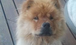 Purebred 4 year old neutered chow is looking for a loving home with a family on their farm or acreage. Great at keeping deer/coyotes out of the yard and garden. Friendly, well-behaved and in great health. We are moving from our acreage and our chow needs