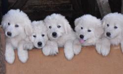 Purebred maremma sheepdog puppies.  Bred to be guardian livestock dogs.  Excellent protectors against coyotes and other predators.  Father imported from Italy.  Beautiful temperment.  Needled, dewormed, vet checked.
