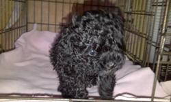 Home raised Purebred Minature Poodle Puppies 3 little boys, 2 black and 1 brown. Born August 19, 2011 Asking $800, deposit required to save puppy of choice. Tails docked, dew claws removed, will have vaccinations and deworming done between 6-8 weeks