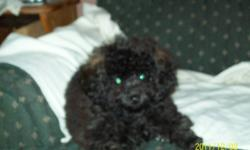 Purebred Minature Poodle Puppy His tail has been docked, dew claws removed, 1st shots, dewormend twice, vet checked. This little guy will be a welcome to any home, very lovable and entertaining. Loves to play and loves all animals. Will be willing to keep