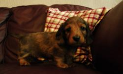 Five healthy, happy and well socialized purebred mini Dachshund puppies for sale. There are three long-haired females of all different colors (brown, brown/black, and dapple), a short-haired dapple female, and a short-haired dapple male. Ready to go on