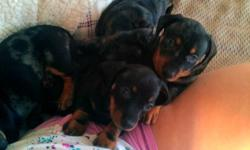 I currently have 3 puppies for sale, ranging in prices. They were born on November 7th, 2011, and have an okay from the vet to go to their new homes now. These adorable, loving puppies will make a great addition to any family. All puppies will come fully