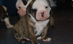 6 purebred Olde English Bulldogge puppies were born on December 21, 2011.  We have 2 females and 4 males, they are all healthy and growing daily.  All puppies are eligible for permanent purebred status. For more information on pups, parents and