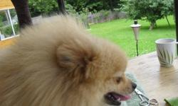 Beautiful Purebred orange Pomeranian Girl. Her name is Vienna.  We are a young Breeding Kennel (hobby only) and we have decided to place Vienna in a loving home.  She is sweet and loving and adores attention. She has never been bred.  She has never had a