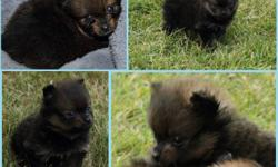 Adorable purebred pom puppies ready to go October 13, 2011. We hope to find someone who has the time to take care of them and will give them lots of love. There are five puppies in the litter. 4 male and 1 female. They all have their own unique