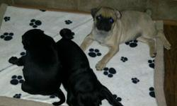 Cute adorable purebreed pugs looking for loving homes.  First shots, partly house broken.  1 female (black) left.  Mom and Dad are smaller pugs weighing approx. 18 lbs.  These little dogs make excellent companions.