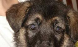 Purebred, CKC Registered German shepherd Puppies Purchase includes, registration, microchipping, first shots, dewormed, and unlimited support. 1 male and 3 females available Please reply to this ad for more information