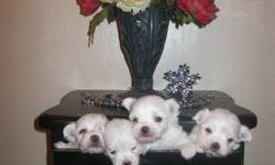 CKC Registered Purebred Maltese Pups...   They come with ckc papers, micro chips, first vaccinations, deworming   no shedding, no allergies, adorable personalities   Ready to go home now   please leave your number with your response..all questions