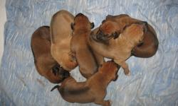 I have 6 purebred Rhodesian Ridgeback puppies. Four females, Two males. Absolutely BEAUTIFUL puppies. Both parents are CKC registered. Act quickly as these pups are sure to go fast! Pups come with first shots & deworming. Serious inquiries only! Contact