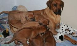 I have 6 purebred Rhodesian Ridgeback puppies. Absolutely BEAUTIFUL puppies. Both parents are CKC registered. Act quickly as these pups are sure to go fast! Pups come with first shots & deworming & vet-check. Serious inquiries only! Contact Kathy at