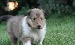 Purebred Rough Collie Puppies They are vet checked with first shots and dewormed and come with a personal puppy care pack which includes food, toys, a collar and their health records. There are 6 in the litter and 4 are sold. 2 Males still available Both