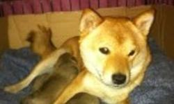 Pug Inus are the best of both worlds! Active and funloving like the Shiba Inu, yet cuddly and very people oriented like the Pug. Slim built like the Shiba as well as the reddish colouring but with a dark mask and shortend muzzle (not as short as a pug) of