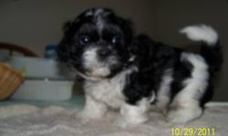 WILL DELIVER. Purebred Shih-Tzu puppies. Vet. checked and first shots. READY TO GO> Will deliver........ Paper trained. Mild tempered and very playfull. Will deliver . Mom and Dad on site. 1-519--397-5161. 1-519-437-5130 cell.