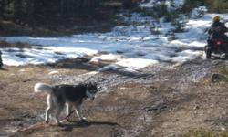Husky looking for a new home ASAP. He is house trained, kennel trained, not neutered, and loves camping.