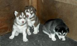 PUREBRED SIBERIAN HUSKY PUPS - ONLY 2 LEFT!!   I have 3 absolutely beautiful Purebred Siberian Husky pups for sale.  They all have lovely masks and no splash coat Both parents are registered and all pups will come with a full Vet Check, 1st set of shots,