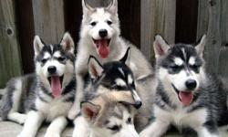 Purebred Siberian Husky pups.  Both males and females, Black&White color or Grey&white color.  come with their first vaccination and dewormed, Vet check paper.  Healthy and playful, looking for their lovely forever home!  please call @416*855*4280