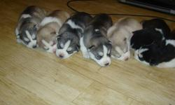 We have seven beautiful Siberian husky puppies 2 males (last 2 on far left) 1 tan and white 1 grey and white 5 females 2 grey and white 1 tan and white 2 black and white mom is white with amber eyes dad is black and white with blue eyes for more info