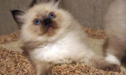 Seal Point Mitted girl  due Feb.25. ****Kitten prices start at $600.00****prices subject to change, and mink kittens are more. Pictures are of last litter born June 9, 2011. Last picture is mom.  This litter will be the same parents. Taking reserves on