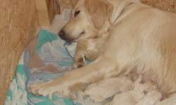 Stella has had her beautiful healthy litter of 9 puppies.  Pups will be ready to go to their forever homes just in time for Christmas.  Both mom and dad are on site.  Pups are being raised and socialized in our family home.   4 Males (1 sold) 4 Females