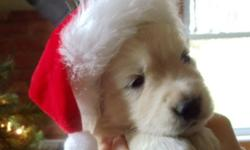 9 Beautiful, healthy family raised purebred golden retriever puppies.  Will be ready to go to their forever homes just in time for Christmas.  Both mom and Dad on site.   1 male Available   All pups will be vet health checked, first shots and dewormed.