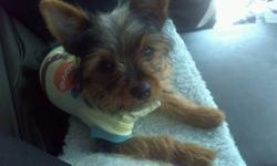 i have a purebred teacup yorkshire terrier for sale he is great with children, very friendly, he loves baths, car rides, cuddeling , walks he is a great dog for someone who needs a friend or a child that wants a dog to walk.