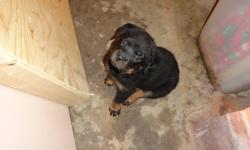 I have german purebreed rotties for sale (I have 2 girls left nice markings) They need good homes     call me if your intrested: 289 684 0171- Mat 905 869 8263- Ted