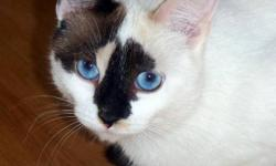 Piper 1 yr Spayed/Female Seal Pt. Snowshoe Mix   A delightful, sweet and wonderfully affectionate young lady around a year old, Piper is a small framed and very dainty little cat with a purrsonality to die for. Readily affectionate and a lap kitty who