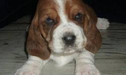Basset Acres is Please to Announce the Arrival of Dahlia and Dudleys Puppies !!! Dudley is CKC registered and Imported from Europe and Dahlia is our first boy Boyds puppy all grown up. They both have wonderful laid back dispositions and are beautiful
