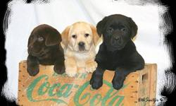Reputable breeder, references available, visitors welcome. Bred for loving companions, hunt, show and obedience. CKC reg'd, 1st vacc., regular dewormings, micro-chiped, puppy portfolio, 6 weeks of puppy insurance, lifetime breeder support, 1 year genetic