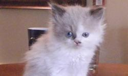 I have have only one ragdoll left for sale. Mom is a purebred ragdoll and dad is a purebred Hymalayan. She is 8 weeks old. She has been dewormed twice and is litter trained. We have two Aussies so the little girl is quite comfortable with dogs.   The girl