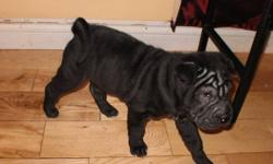 Chinese Shar-pei One Male black pup left. Mircochipped & first shots Ready to go needs his new home He is well tempred, very excited and loves attention $700.00- low price for quality pup. 705-497-0899 May be able to deliver