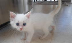 Beautiful flame point ragdolls.  Only two left..... Males with First shots, Dewormed,  Scratch board and Litter train-ed. Eating baby cat dry food and just adorable. Need homes quickly~~ ~Call 250-317-8183 or 778-484-6711