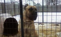 We just had a litter of rare mastiffs they will be ready for their new homes February 11th. Both parents have done protection training. Mom is a brindle and dad is a fawn. The puppies will be well socialized around children and other animals for more