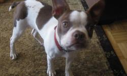 CKC REGISTERED RED SPLASH BOSTON TERRIER MALE.     Corbett is a well bred, handsome, 6 month old , red & white splash, boston terrier puppy.  He was bought from Bella Bostons in Ontario.   He is off genetically tested lines and has some of the best