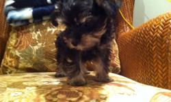 Three teasup snorkeys for sale. mom is a teasup yorkie she is 3 poundsand the dad is a teacup schnauzer he is very rare..4 pounds They are rare becuase of the size i am the only one the has a make schnauzer that small.. 902 277-0209